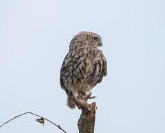 Little Owl-8500593 (seandarcy2) Tags: birds wild wildlife animals woodland bucks uk owl owls birdsofprey littleowl