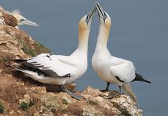 Sky pointing (jpotto) Tags: uk yorkshire bempton rspb bird birds gannet