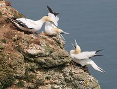 A domestic (jpotto) Tags: uk yorkshire bempton rspb bird birds gannet