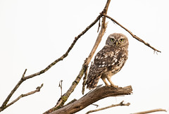 Little Owl-8500591 (seandarcy2) Tags: birds wild wildlife animals woodland bucks uk owl owls birdsofprey littleowl