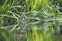 IMG_2367 (LezFoto) Tags: canoneos700d sigma 700d canon 120400mmf4556dgapooshsm digitalslr dslr canonphotography sigmalens kingfisher alcedaatthis riverdon aberdeen scotland unitedkingdom