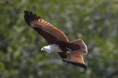 Brahminenweih (Haliastur indus) (LaKi-photography) Tags: langkawi malaysia greifvogel natur nature birdsofprey weihe kite brahminenweihe haliasturindus brahminykite canon eos5dsr bird vogel