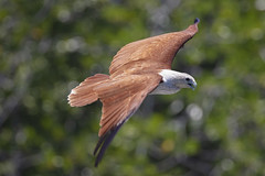 Brahminenweih (Haliastur indus) (LaKi-photography) Tags: langkawi malaysia greifvogel natur nature birdsofprey weihe kite brahminenweihe canon eos5dsr bird vogel
