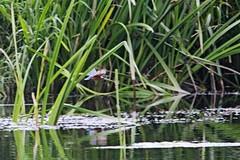IMG_2364 (LezFoto) Tags: canoneos700d sigma 700d canon 120400mmf4556dgapooshsm digitalslr dslr canonphotography sigmalens kingfisher alcedaatthis riverdon aberdeen scotland unitedkingdom