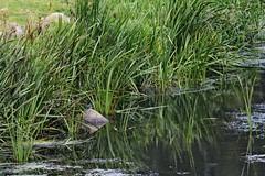 IMG_2331 (LezFoto) Tags: canoneos700d sigma 700d canon 120400mmf4556dgapooshsm digitalslr dslr canonphotography sigmalens kingfisher alcedaatthis riverdon aberdeen scotland unitedkingdom