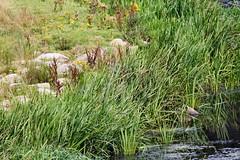 IMG_2294 (LezFoto) Tags: canoneos700d sigma 700d canon 120400mmf4556dgapooshsm digitalslr dslr canonphotography sigmalens kingfisher alcedaatthis riverdon aberdeen scotland unitedkingdom