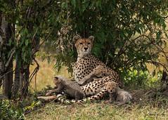 Queen Malaika with cubs! (Jambo53 ()) Tags: crobertkok cheetah jachtluipaard kenya eastafrica sigma50500 nikond800 f8 iso640