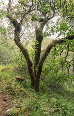 Annadel State Park (1) (Teelicht) Tags: baum california kalifornien nordamerika northamerica sonomacounty trioneannadelstatepark usa unitedstatesofamerica vereinigtestaaten tree