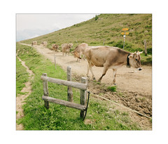 Jingling Procession (Thomas Listl) Tags: thomaslistl color schweiz swiss schweizeralpen graubünden animals cows 24mm wideangle green grass nature line diagonal herd switzerland