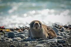 Seal Pup (njohn209) Tags: birds d500 nikon nz