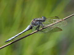 Keeled Skimmer (terrylaws526) Tags: dragonflies insects keeledskimmer wildlife