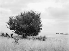 Small Cherry Tree (LarsHolte) Tags: pentax 645 pentax645 645n 6x45 smcpentaxfa 75mm f28 120 film 120film analog analogue kosmo foto mono 100iso rodinal aph09 mediumformat blackandwhite classicblackwhite bw monochrome filmforever filmphotography ishootfilm larsholte homeprocessing tree