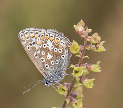 Silver studded blue (DPJmendoza) Tags: silve studded blue butterfly macro nature summer