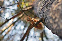 Головокружительная белка *  dizzy squirrel (marussia1205) Tags: белка дерево улыбка squirrel tree smile
