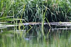 IMG_2368 (LezFoto) Tags: canoneos700d sigma 700d canon 120400mmf4556dgapooshsm digitalslr dslr canonphotography sigmalens kingfisher alcedaatthis riverdon aberdeen scotland unitedkingdom