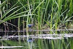 IMG_2365 (LezFoto) Tags: canoneos700d sigma 700d canon 120400mmf4556dgapooshsm digitalslr dslr canonphotography sigmalens kingfisher alcedaatthis riverdon aberdeen scotland unitedkingdom