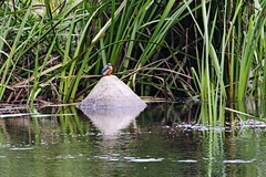 IMG_2354 (LezFoto) Tags: canoneos700d sigma 700d canon 120400mmf4556dgapooshsm digitalslr dslr canonphotography sigmalens kingfisher alcedaatthis riverdon aberdeen scotland unitedkingdom