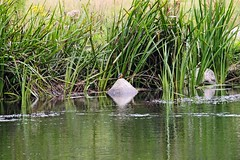 IMG_2353 (LezFoto) Tags: canoneos700d sigma 700d canon 120400mmf4556dgapooshsm digitalslr dslr canonphotography sigmalens kingfisher alcedaatthis riverdon aberdeen scotland unitedkingdom