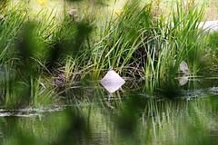 IMG_2351 (LezFoto) Tags: canoneos700d sigma 700d canon 120400mmf4556dgapooshsm digitalslr dslr canonphotography sigmalens kingfisher alcedaatthis riverdon aberdeen scotland unitedkingdom