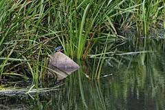 IMG_2326 (LezFoto) Tags: canoneos700d sigma 700d canon 120400mmf4556dgapooshsm digitalslr dslr canonphotography sigmalens kingfisher alcedaatthis riverdon aberdeen scotland unitedkingdom