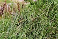 IMG_2295 (LezFoto) Tags: canoneos700d sigma 700d canon 120400mmf4556dgapooshsm digitalslr dslr canonphotography sigmalens kingfisher alcedaatthis riverdon aberdeen scotland unitedkingdom