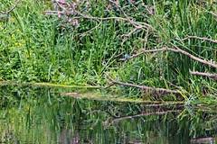 IMG_2289 (LezFoto) Tags: canoneos700d sigma 700d canon 120400mmf4556dgapooshsm digitalslr dslr canonphotography sigmalens kingfisher alcedaatthis riverdon aberdeen scotland unitedkingdom