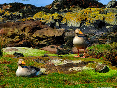 Scotland West Highlands Argyll two nesting Geese on the north coast of the island of Cumbrae 22 April 2019 by Anne MacKay (Anne MacKay images of interest & wonder) Tags: scotland west highlands argyll nesting geese island cumbrae bird birds seabirds 22 april 2019 picture by anne mackay