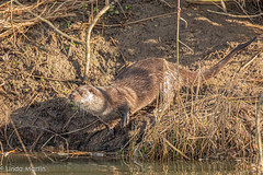Otter (Linda Martin Photography) Tags: dorset wildlife bournemouth nature otter northbourne europeanotter riverstour stourvalley lutralutra uk animal naturethroughthelens coth coth5 alittlebeauty specanimal