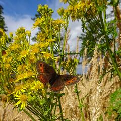 Erebia aethiops (prajpix) Tags: butterfly lepidoptera invertebrate insect nature macro closeup highlands scotland ragwort woods woodland