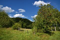 Les pommes rouges (Excalibur67) Tags: nikon d750 sigma globalvision art 24105f4dgoshsma paysage landscape arbres trees ciel cloud sky nature nuages rouge red campagne vosgesdunord prairie clôture