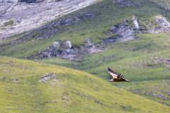 Rase-motte. (Rouvier Jean Pierre) Tags: vautours rapaces aravis savoie