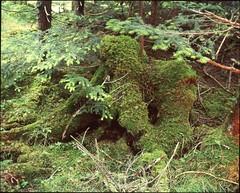 (✞bens▲n) Tags: mamiya 7ii velvia 100f 80mm f4 film analogue 6x7 japan nagano woods trees stump forest moss yatsugatake nature