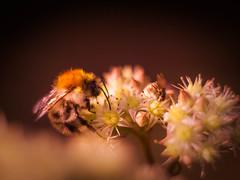Fly with me (ursulamller900) Tags: bee biene fly fliege sedum helios442 extensiontube 12mm makroring ackerhummel bombus