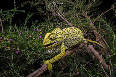 Common Chameleon (Chamaeleo chamaeleon) (Jari Cornelis) Tags: jari cornelis common chameleon chamaeleo chamaeleon