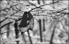 (Armin Schuhmann) Tags: 2018 winter praktica mtl mtl3 carl carlzeissjena carlzeiss zeiss jena czj pancolar 50mm f18 1850 5018 starwars vintagecamera vintagelens vintage yellowfilter agfa apx apx400 400asa rodinal 1100 m42 screwmount argentique analogue analogic analog analogo analogico analogica scan selfdeveloped shootfilm sw schwarzweiss schwarzweis believeinfilm buyfilmnotmegapixels bw bokeh blackandwhite noiretblanc northeast ishootfilm filmisnotdead filmphotography filmscan filmphoto film filme estrie easterntownships quebec canada leaf foliage snow branches nature woods forest backcountry пленка