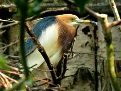 Prachtreiher, Ardeola speciosa (Eerika Schulz) Tags: ardeola speciosa prachtreiher javan pond heron vogelpark walsrode eerika schulz