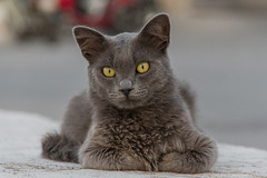 greek cat (klepher) Tags: cat chat animal pet lovely eyes cute greek greece travel summer sun cool calm photo photography spetses yellos yellow king