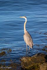 IMG_7460 (alfredo.rossitto) Tags: capecod bird heron sea ocean