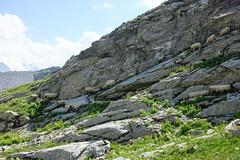 Sheep @ Hike to Désert de Platé (*_*) Tags: 2019 summer ete august afternoon hiking loop circuit mountain montagne nature randonnee trail sentier walk marche animal sheep mouton desertdeplate giffre faucigny flaine france europe alps hautesavoie 74 savoie
