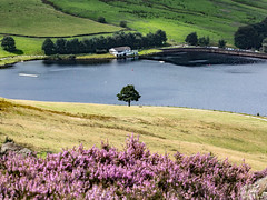 Dove Stones Reservoir and Heather (Craig Hannah) Tags: dovestonesreservoir dovestones reservoir tree lonetree greenfield saddleworth pennine peakdistrictnationalpark peakdistrict nature nationalpark heather flower countryside outdoors hills moorland craighannah august 2019 westriding yorkshire oldham greatermanchester england uk canon photography chewvalley landscape summer