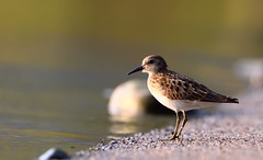 Least Sandpiper (hd.niel) Tags: leastsandpiper smallestsandpiper birds shorebirds sandpipers nature photos wildlife photography backlit lakeontario beach peeps