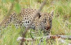 Bame's cub at Abu concession - Delta of Okavango - Botswana (lotusblancphotography) Tags: africa afrique botswana okavango nature wildlife safari bigcat cub leopardcub léopard