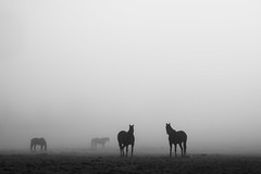 Vigilant (NathalieSt) Tags: europe exmes france normandie bassenormandie campagne countryside nature nikon nikonz6 nikonpassion nikonphotography normandy orne z6 horse cheval chevaux lanscape paysage