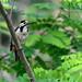 Syrian Woodpecker 2019-06-02_06