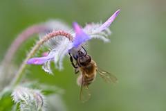 Borretschblüte mit Biene (naturgucker.de) Tags: ngidn2129535517 boragoofficinalis borretsch