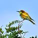 European Bee-eater 2019-07-06_09
