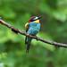 European Bee-eater 2019-07-06_08