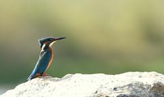 Martin-pêcheur (Guillaume Dardant) Tags: nature sauvage oiseaux bird loiret loire d810 nikon 500mmf4 alcédinidés martinpêcheur alcedoatthis coraciiformes commonkingfisher affûtcouché