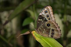 Morpho peleides (Matt H. Imaging) Tags: ©matthimaging butterfly animal animalplanet insect emmen wildlands zoo netherlands drenthe sony slt slta77ii a77ii ilca77m2 zeiss sal1680z