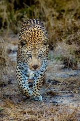 Hukumuri nuut (wierwdei67) Tags: leopard wildlife stalking africa sabi sand